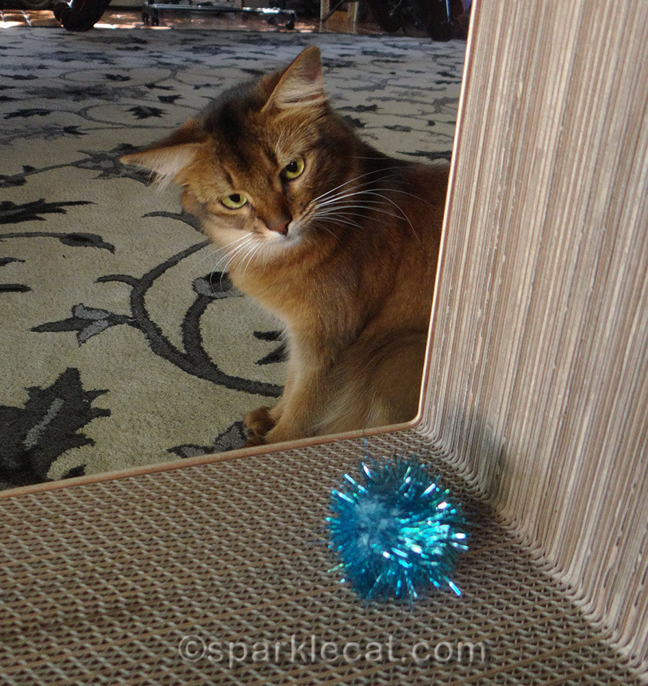 somali cat playing with blue sparkle ball