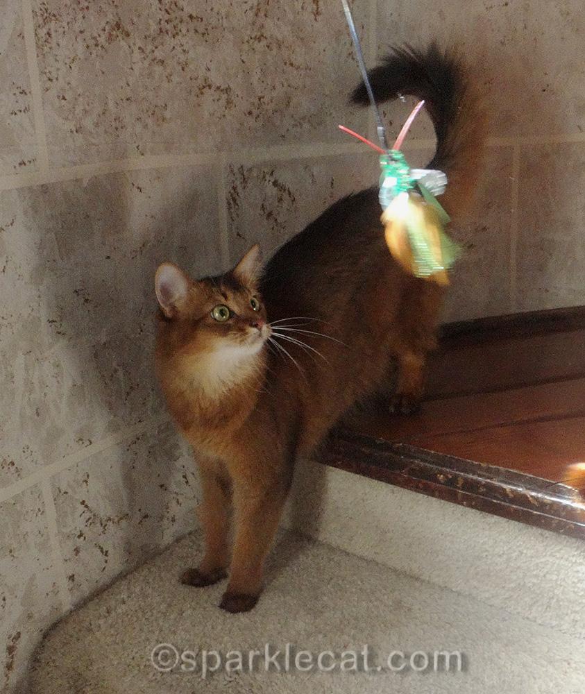 Somali cat playing with nekoflies birbug