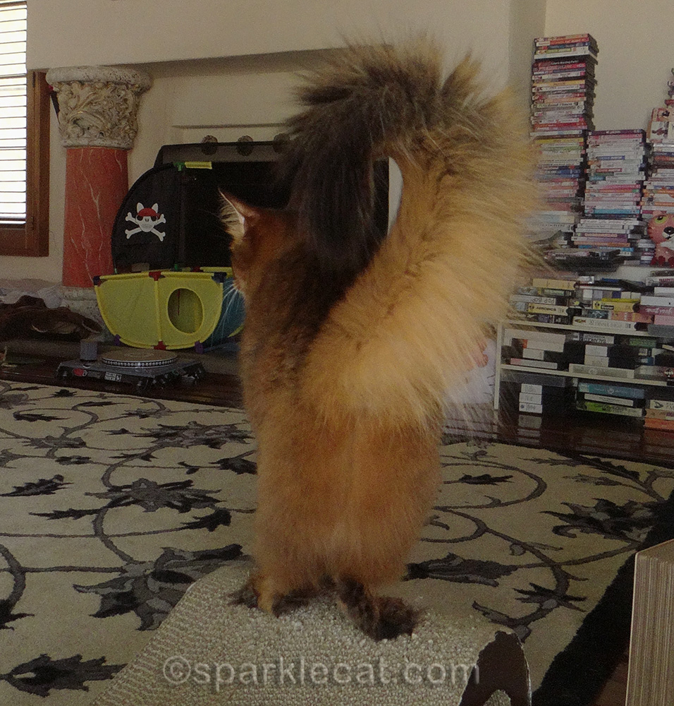 somali cat with clean, fluffy back end