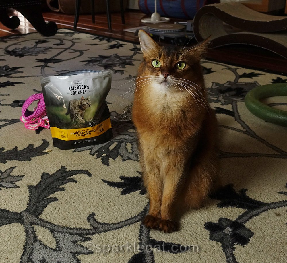 somali cat waiting for her human to shut up