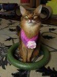 somali cat sitting in her hoop
