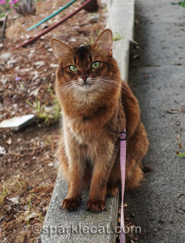 somali cat annoyed by interruption in her birdie watching