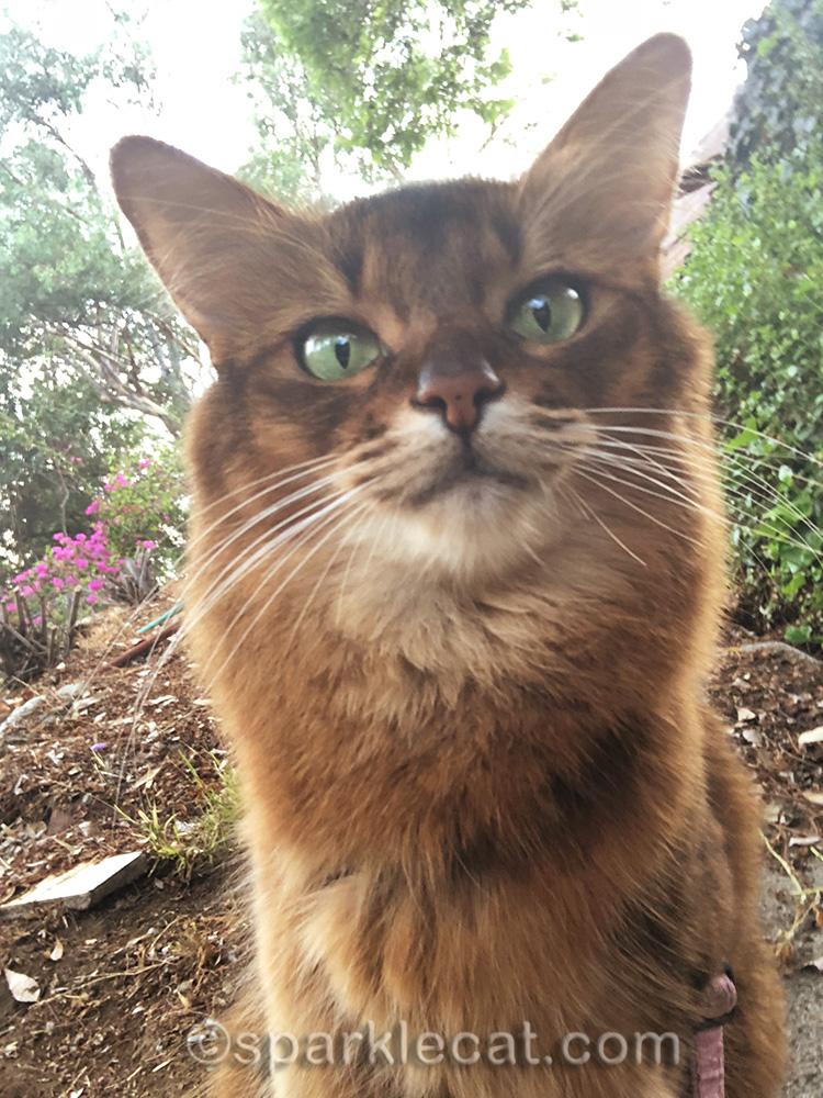 somali cat selfie in garden