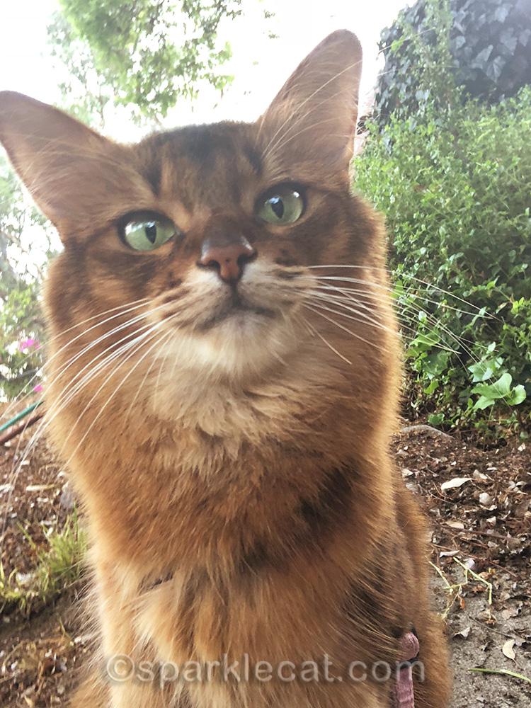 somali cat selfie number two