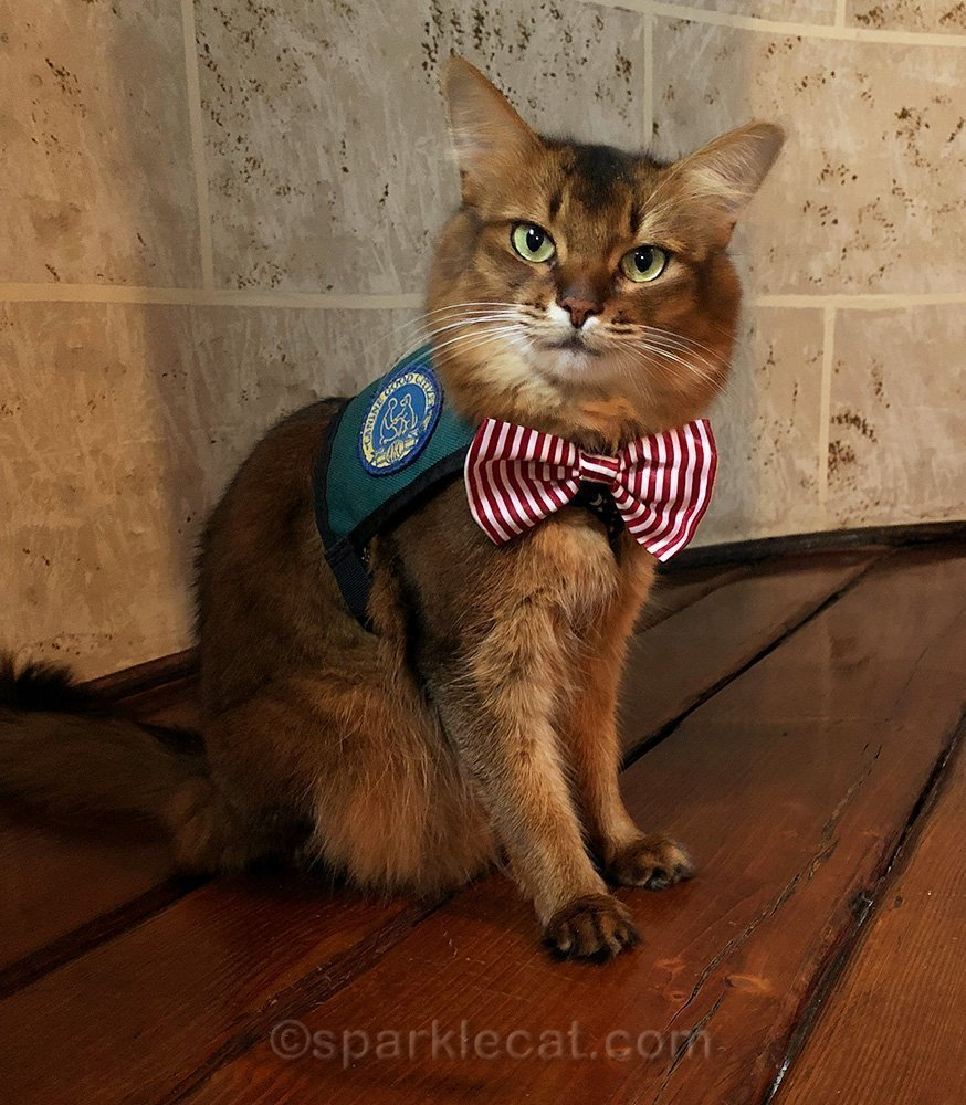 therapy cat ready for work