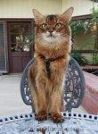 somali cat at bistro table