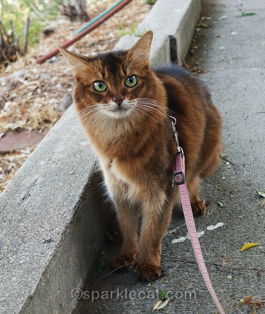 somali cat on walkway out back