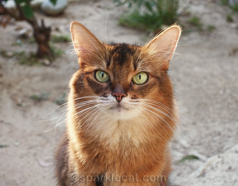 outdoor close up of somali cat