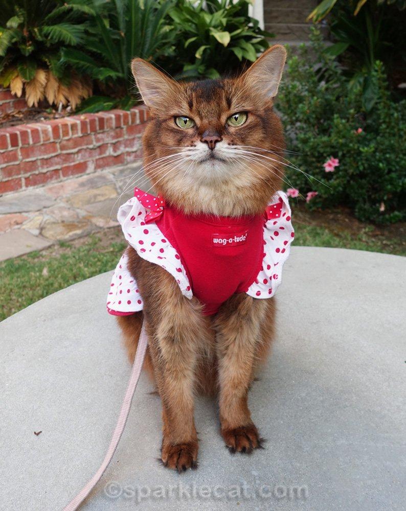 Somali cat wearing a cute pinafore cat dress