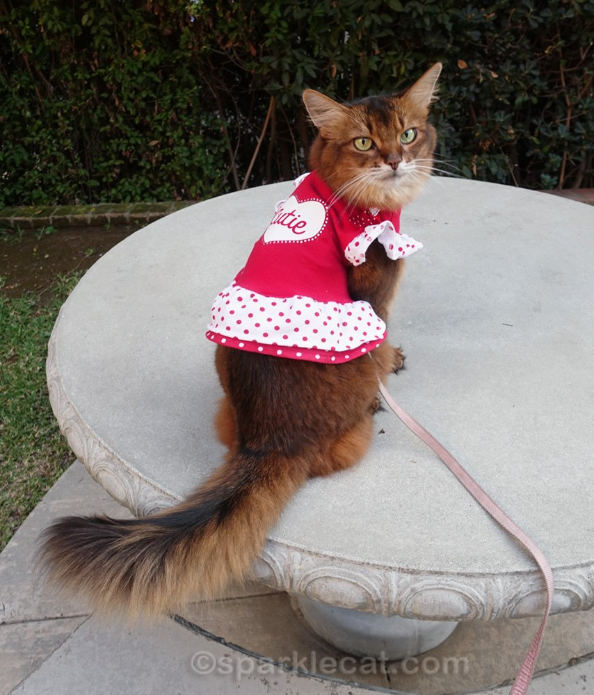 Somali cat showing the back of her Cutie cat dress