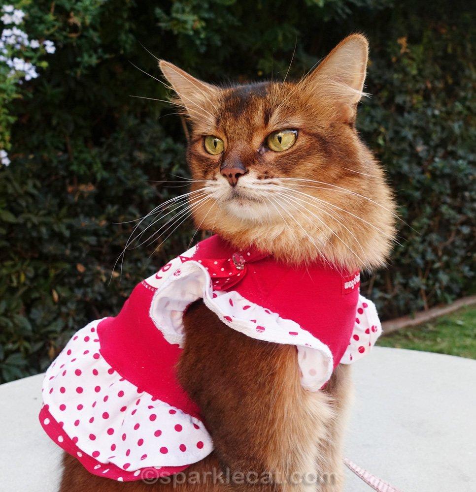 closer shot of Somali cat in dress, looking over her shoulder