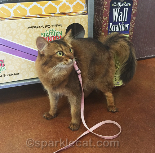 somali cat on leash in small pet store
