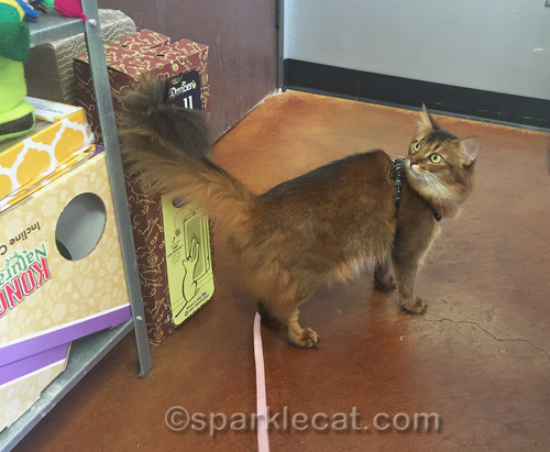 somali cat looking around in small pet shop