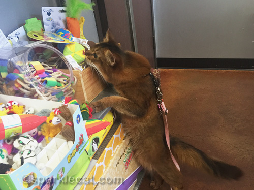 somali cat sniffing catnip toys at pet store