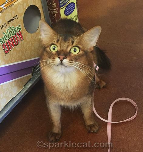 somali cat begging for catnip toys