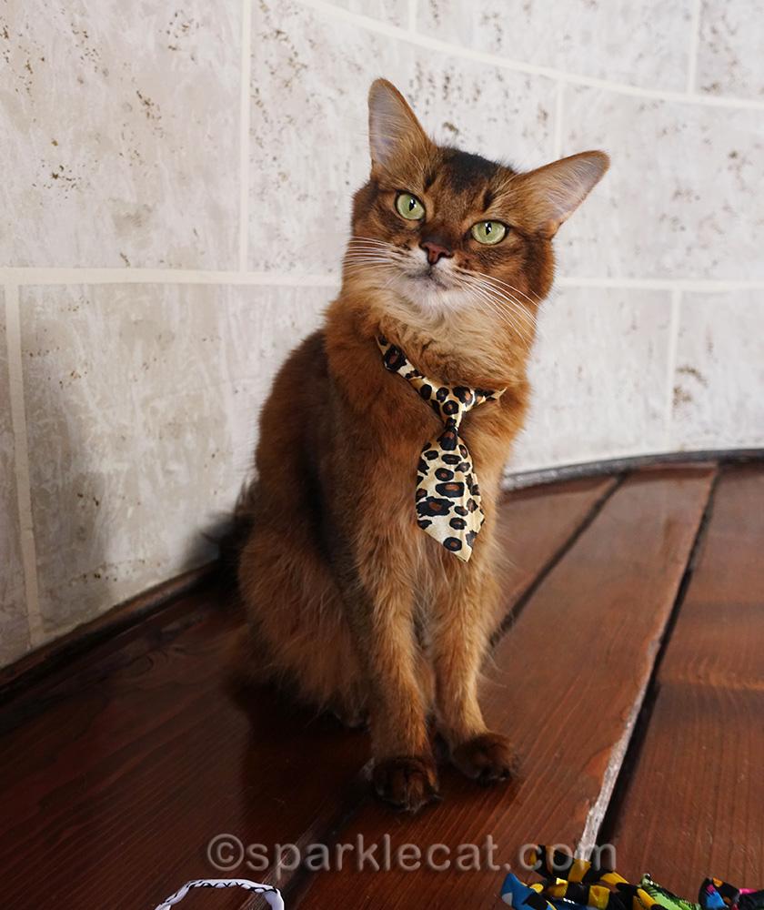 somali cat wearing a tie like a pro