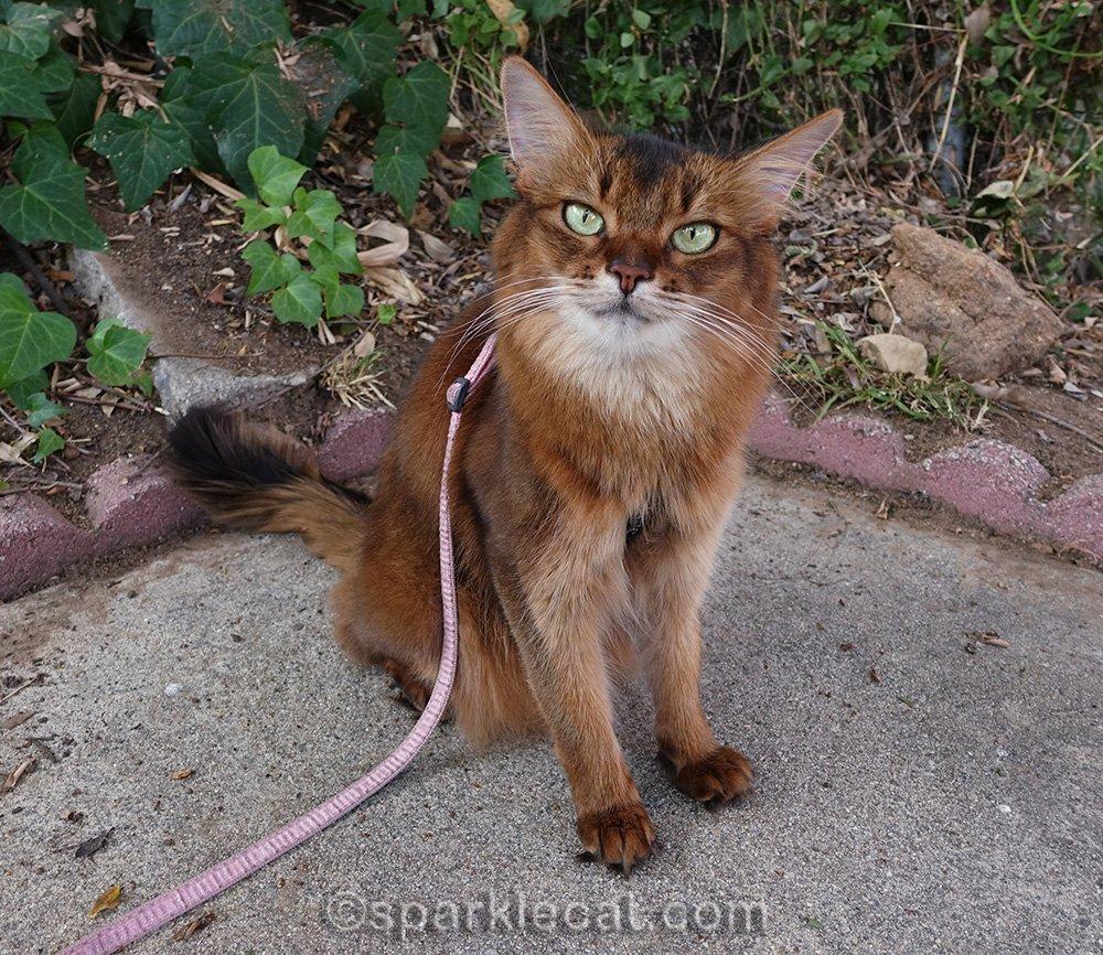 somali cat on a leash in backyard