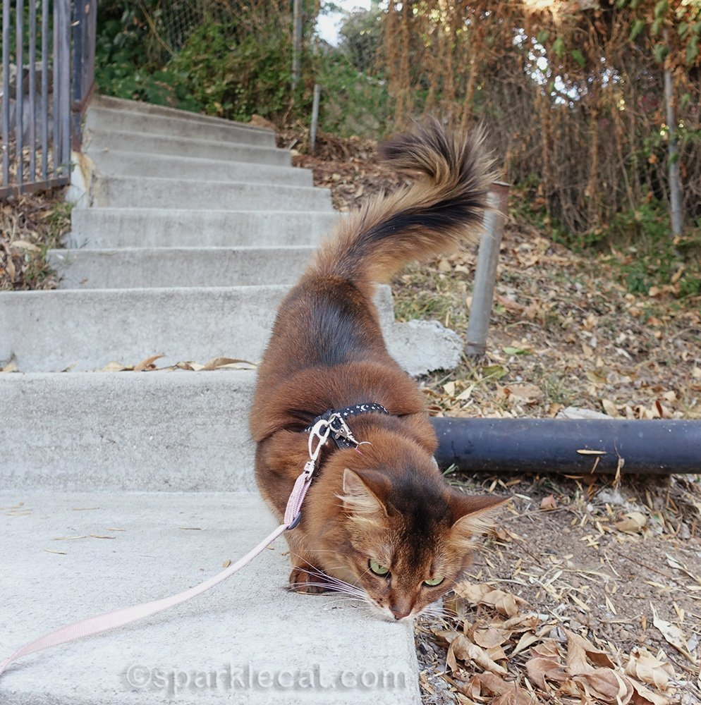 somali cat rubbing on concrete steps