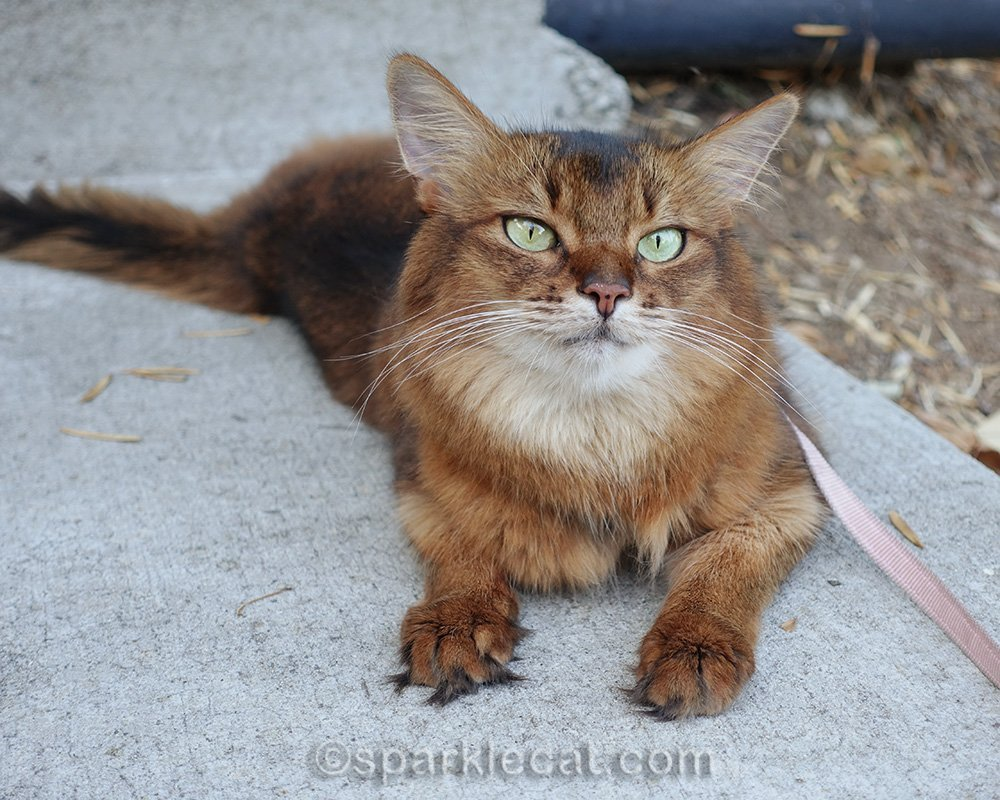 somali cat lying around on some other concrete steps