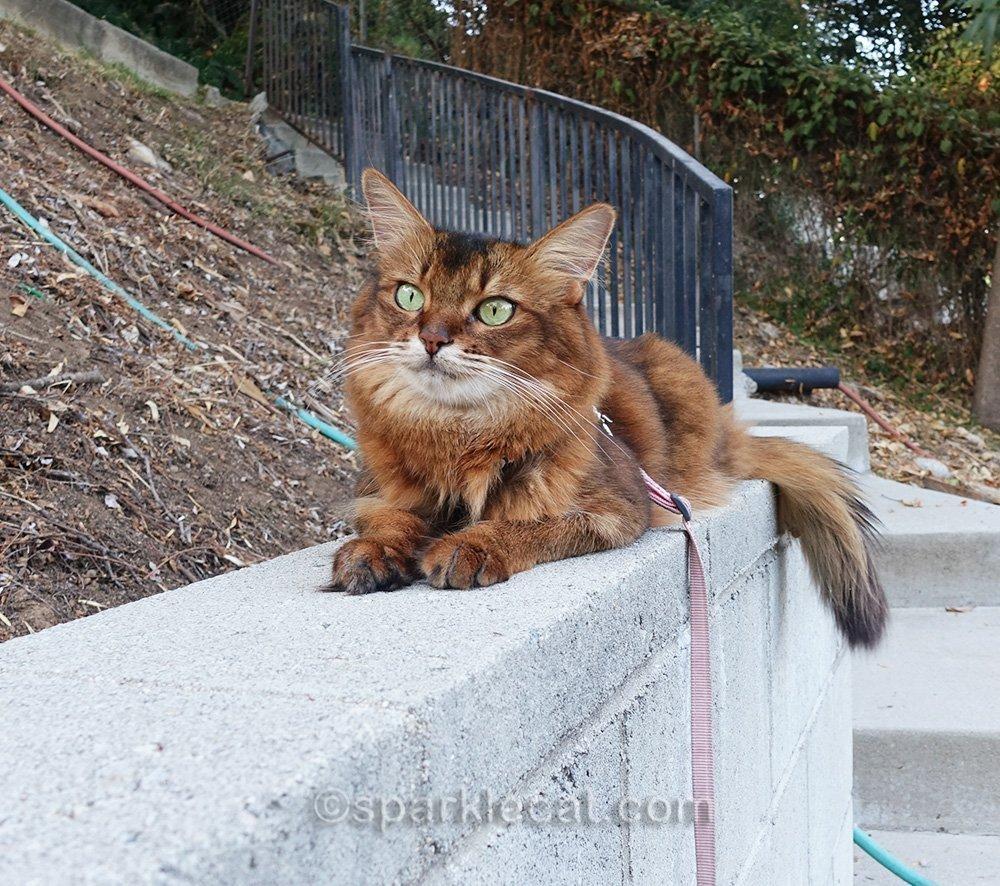 somali cat lying around on concrete wall