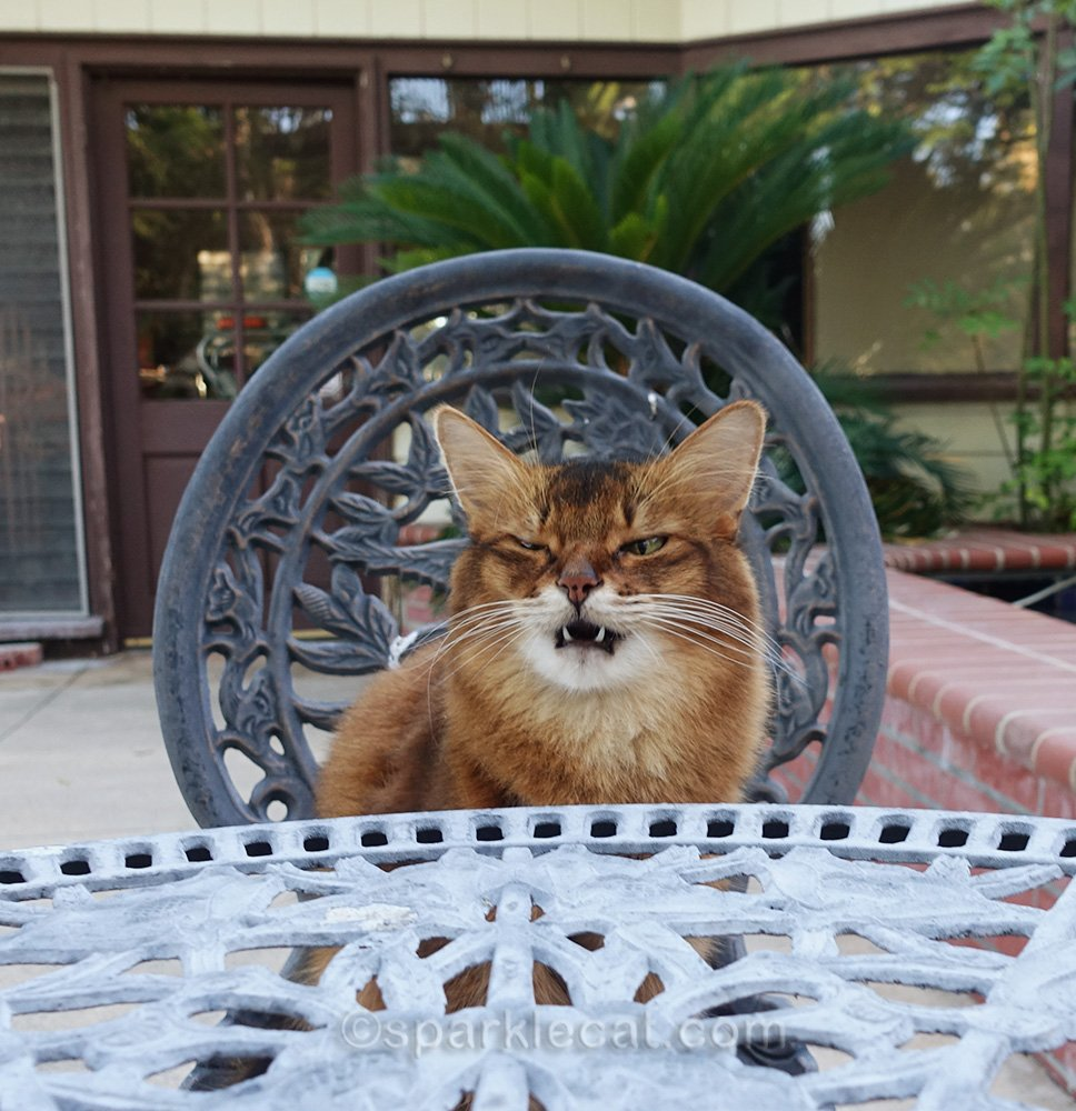 somali cat making face while sitting on bistro chair