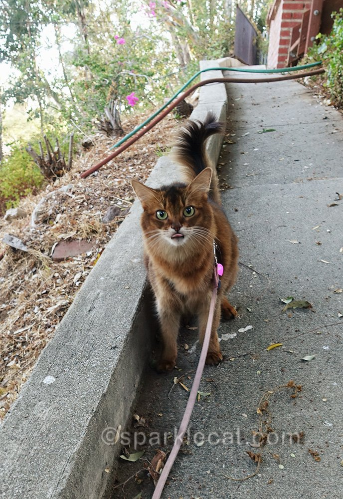 somali cat on leash, giving raspberry