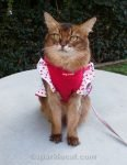 Somali cat looking cute in a red dress with ruffly red polka dots