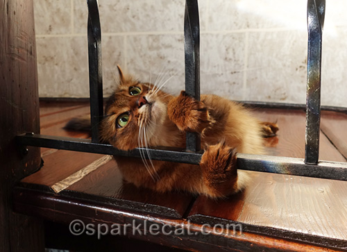 somali cat playing in turret and making a funny face