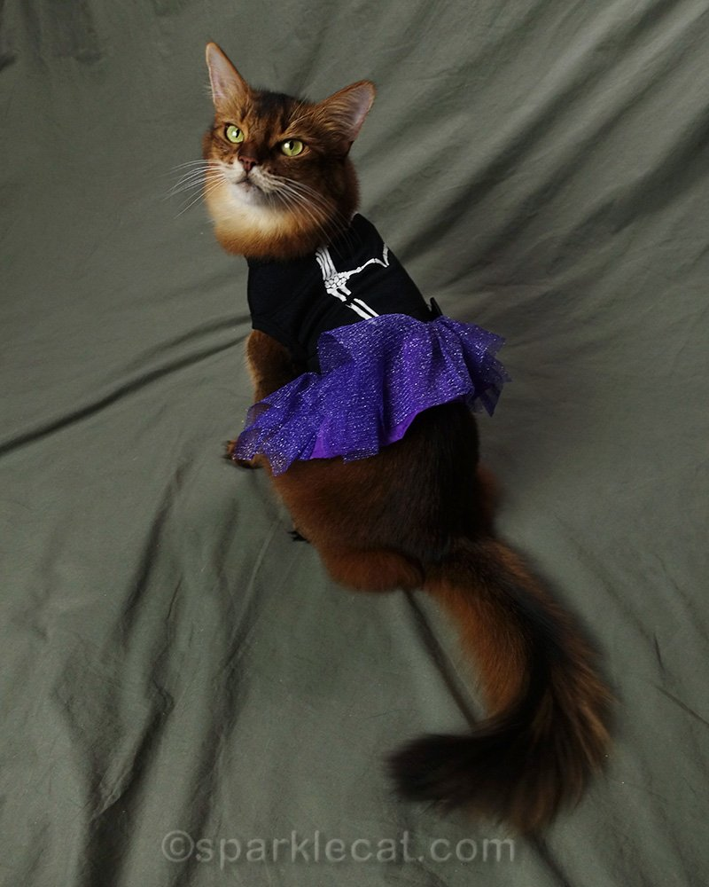 somali cat in Halloween dress, from behind