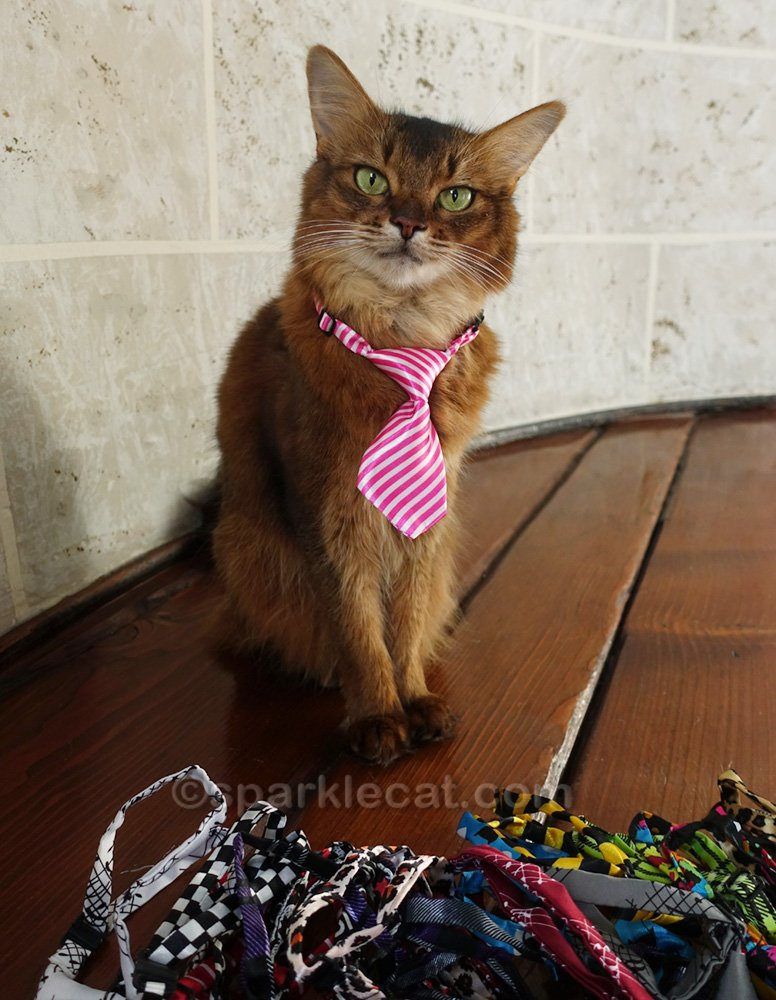 Somali cat wearing a necktie, with a pile of neckties at her paws