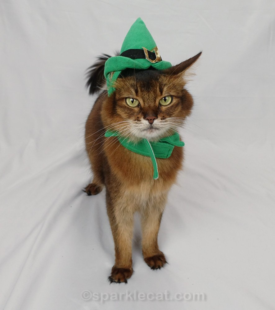 Somali cat wearing poorly fitting elf hat and collar
