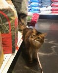 somali cat disappointed that shopper ignored her