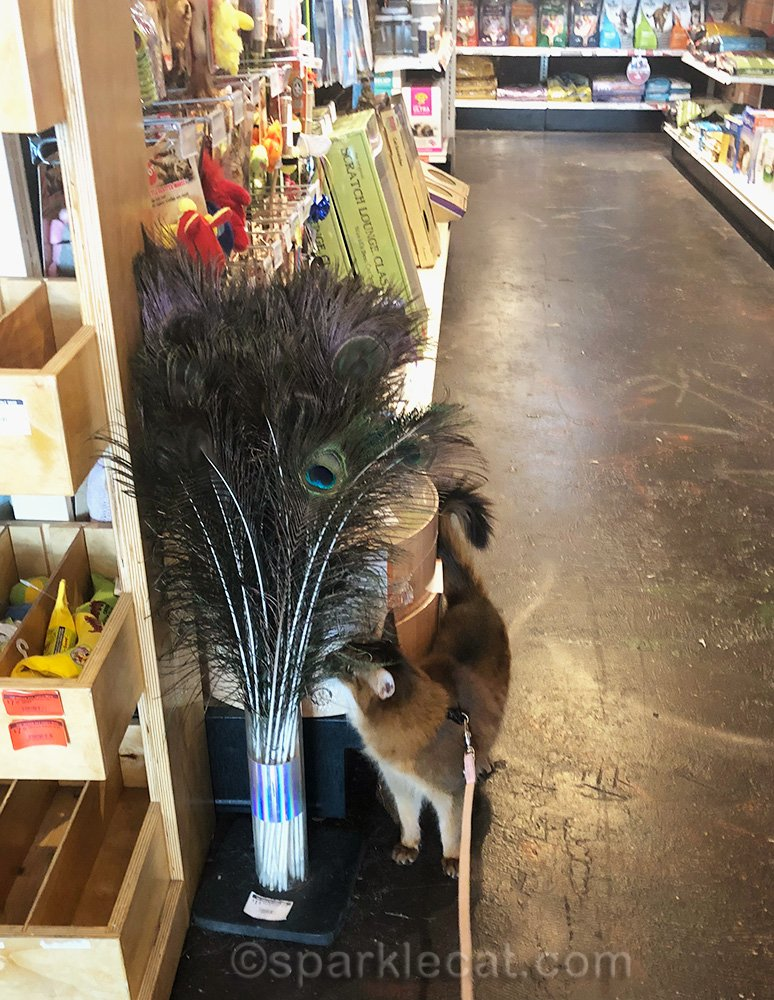 somali cat checking out the peacock feathers