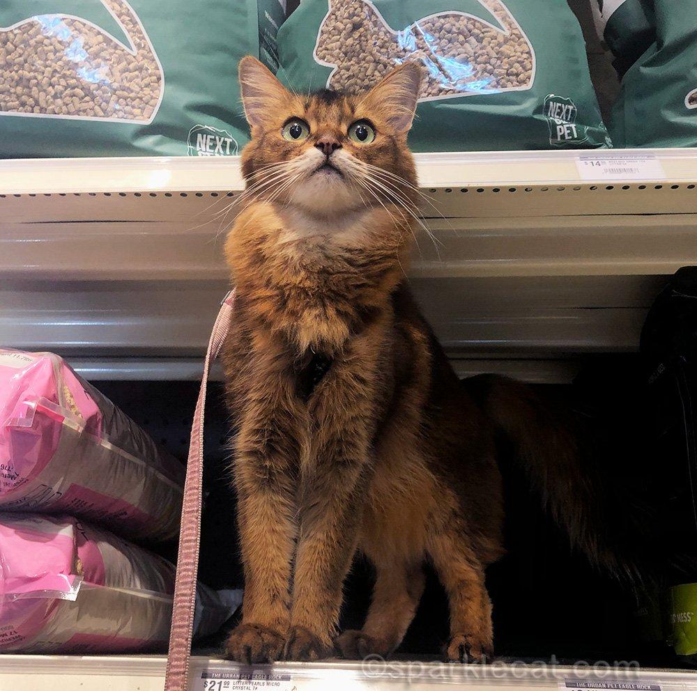 somali cat on cat litter shelf