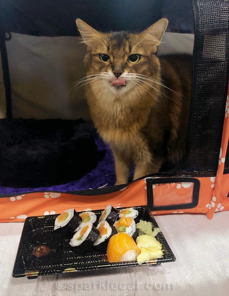 Somali cat sticking out tongue with sushi in the foreground