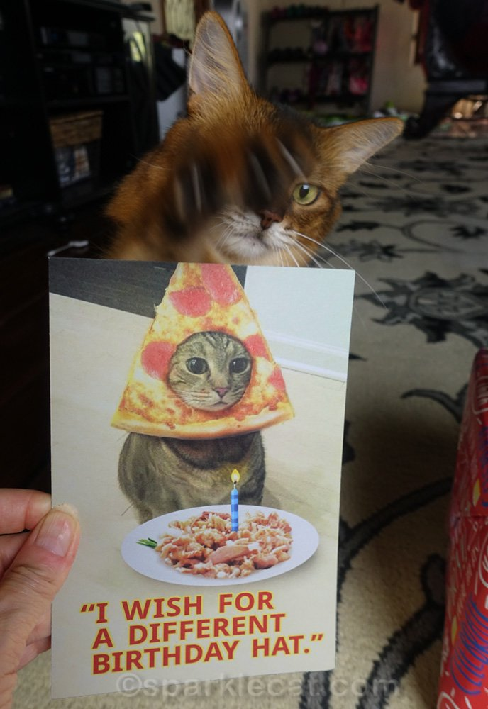 Somali hat swiping at birthday card with her paw