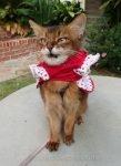 Somali cat with dress halfway on