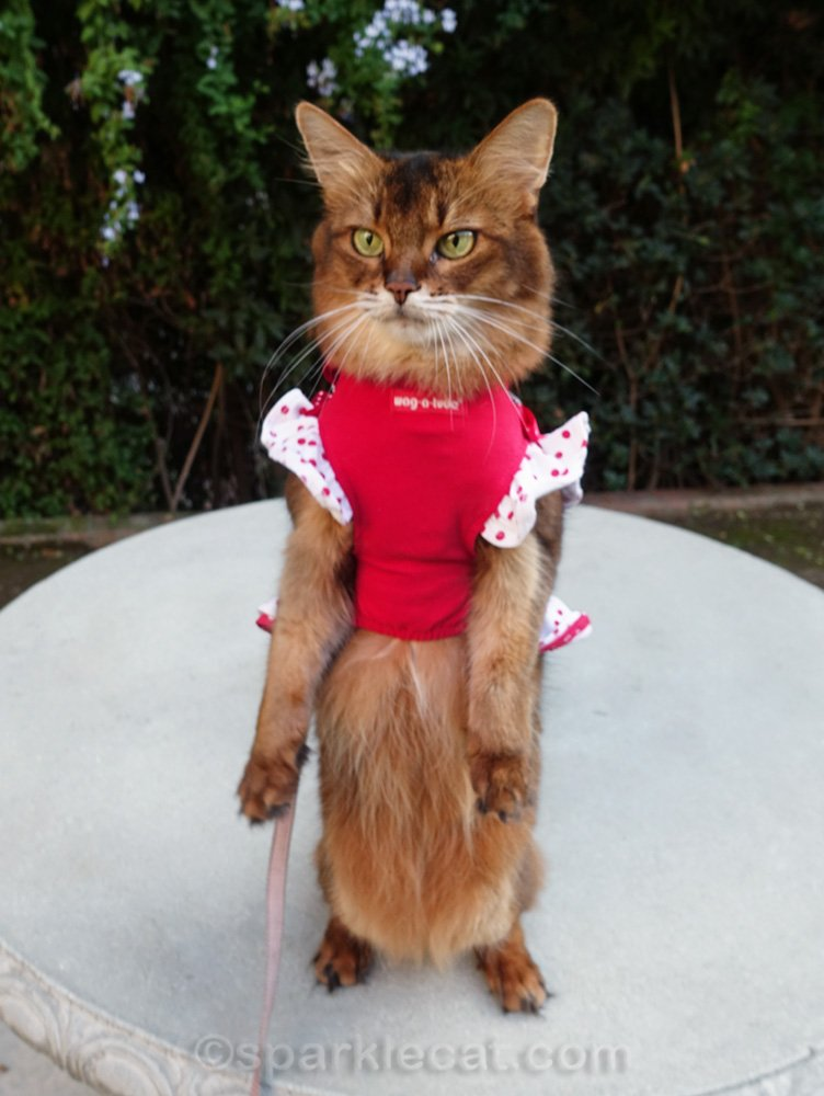 Somali cat standing on hind legs with dress on