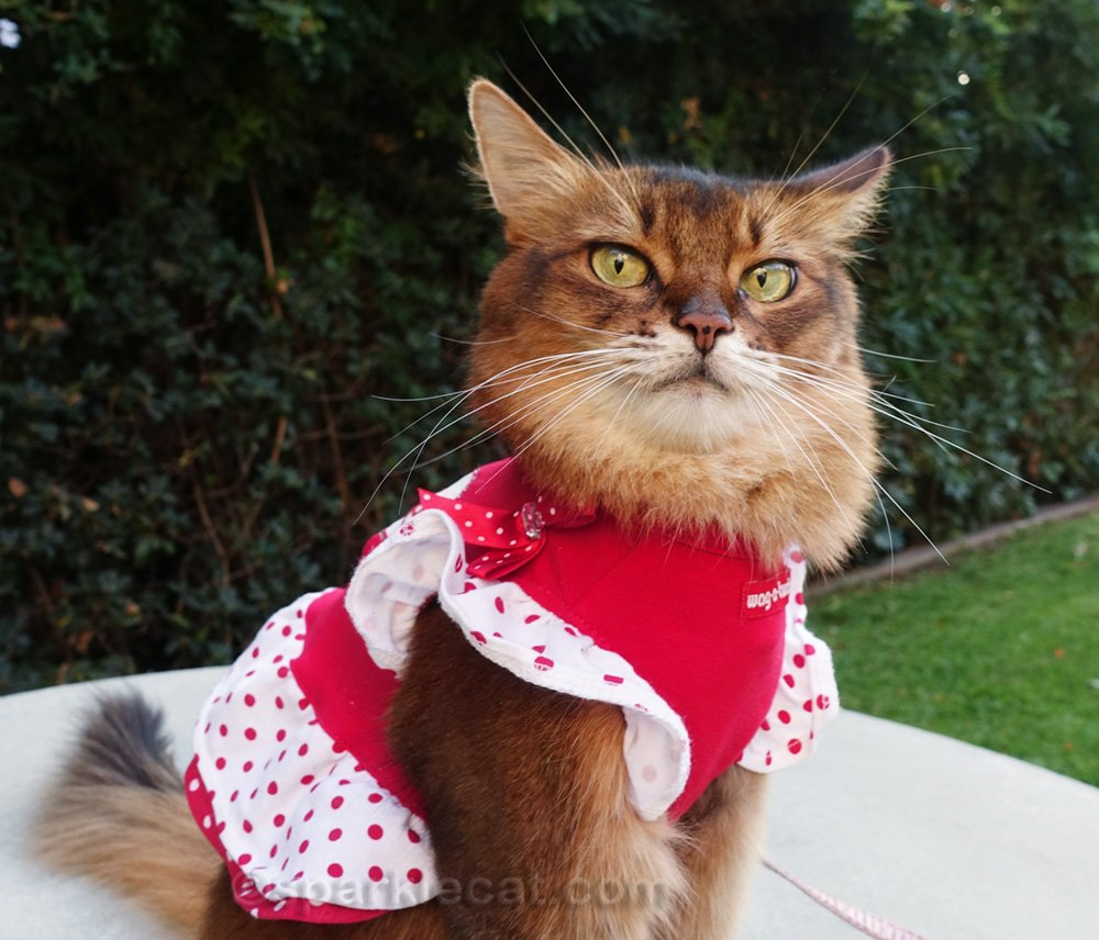 Somali cat with a dubious expression on her face