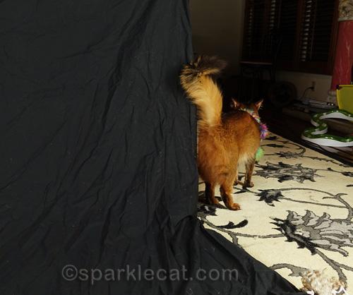 somali cat walking off photo set with feathered, beaded neckwear still on