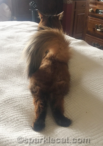 somali cat lying around when it's hot, from behind