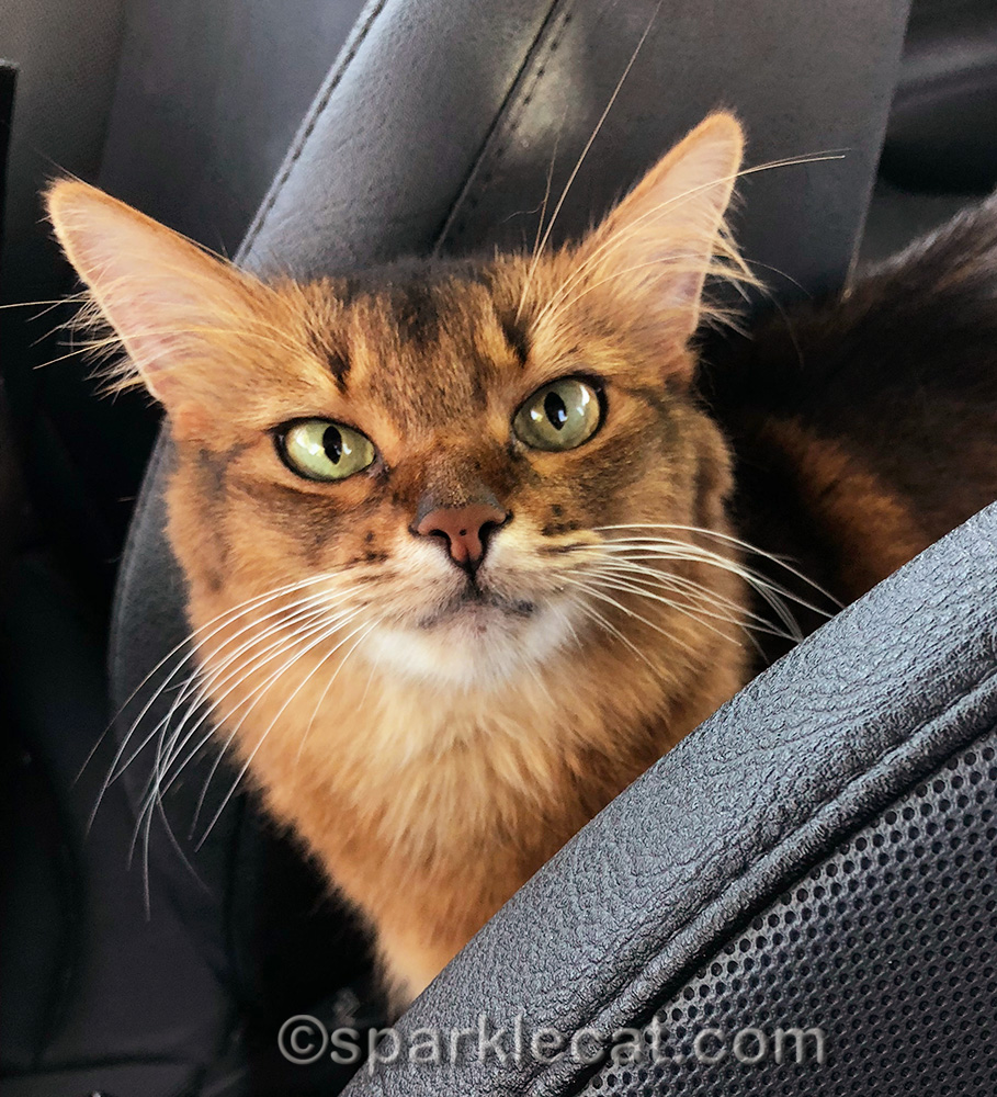 Somali cat ready to go to pet store