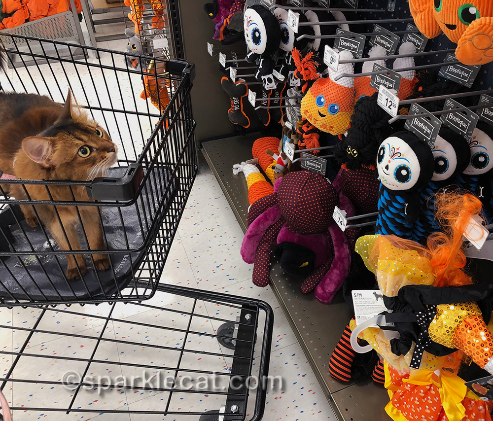 it's fall at the pet store - somali cat looks at Halloween display