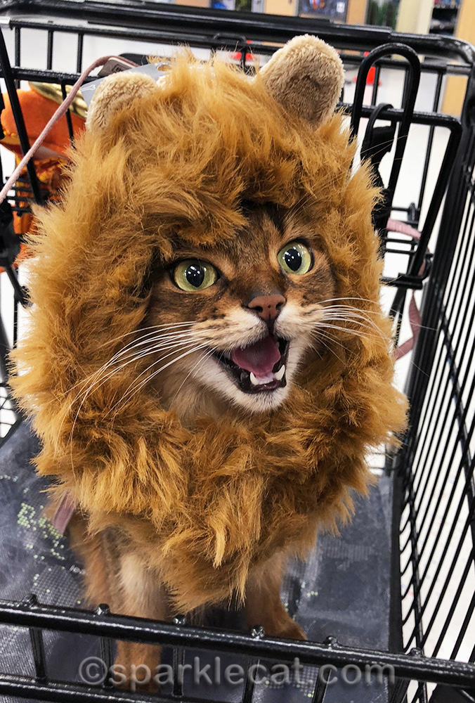 somali cat wearing lion's mane costume