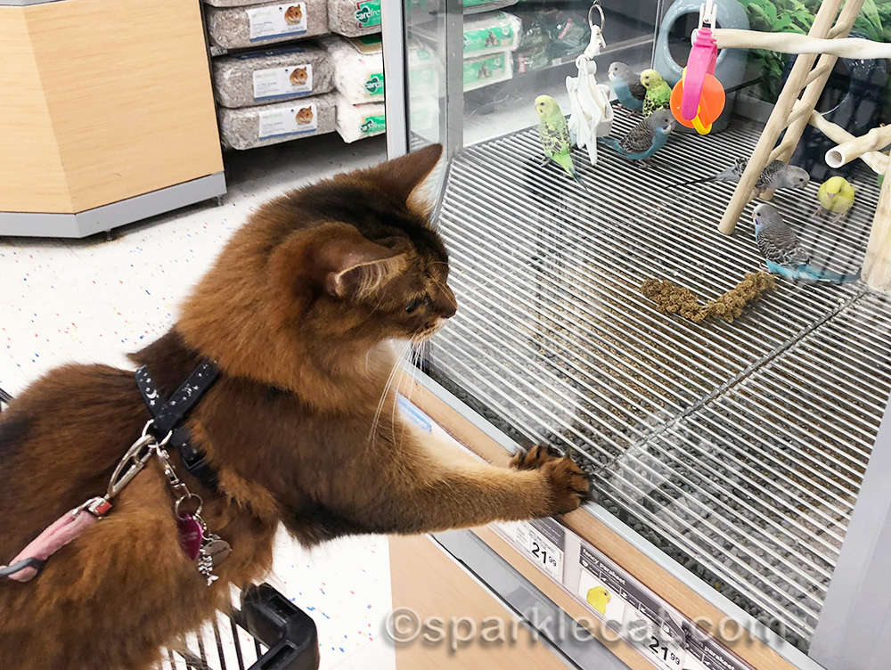 somali cat looking at pet store parakeets