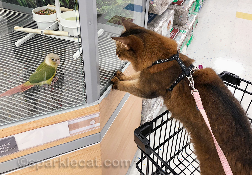 somali cat looking at pet store love bird