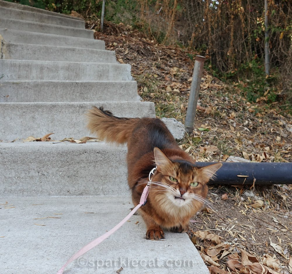 wacky outtakes of somali cat making weird face while outdoors