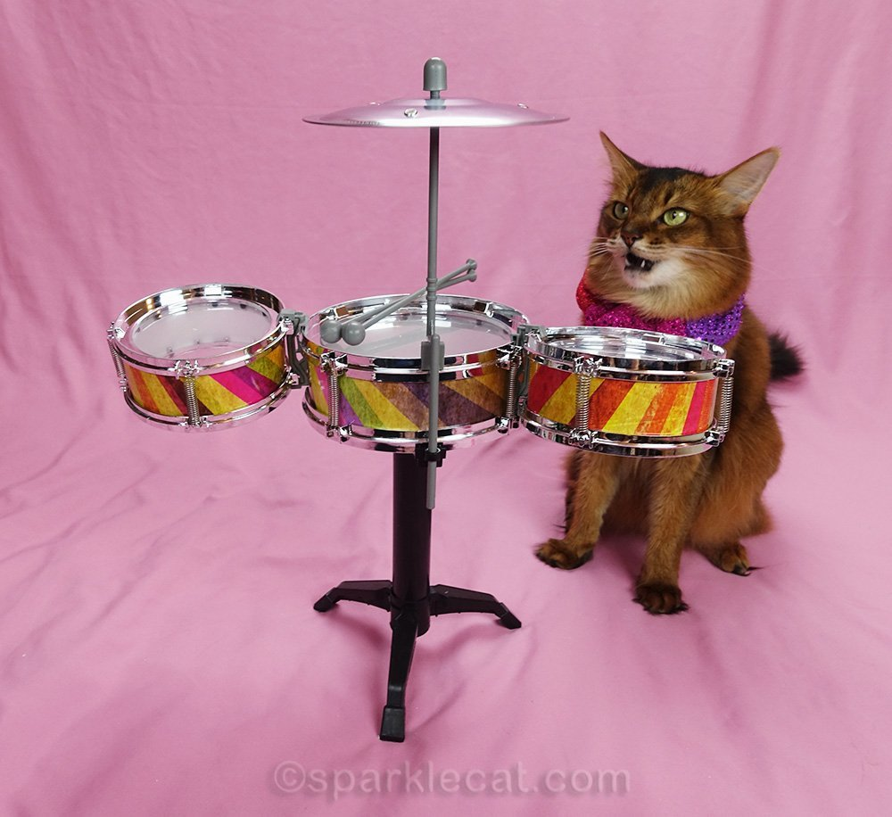 somali cat amazed at tiny drum kit