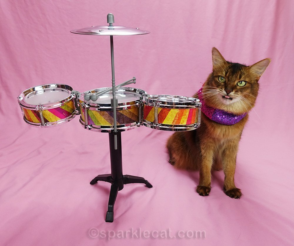 somali cat not happy about drum lessons