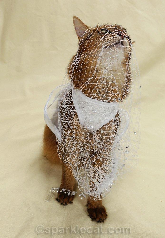 somali cat tangled up in bridal veil